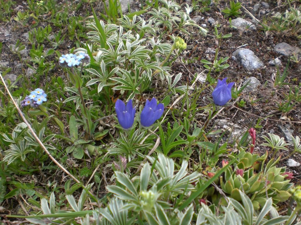 Цветочки в Безенги