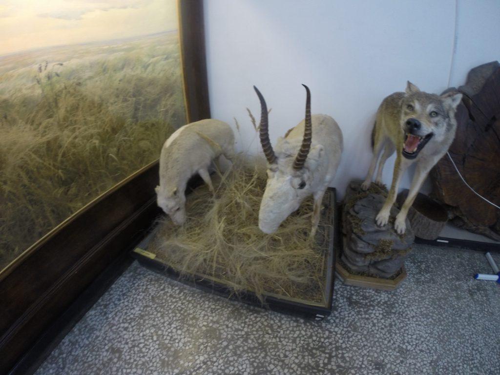 Сайгаки в музее истории Донского казачества